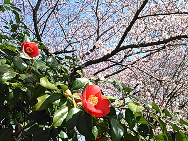 桜と椿の画像