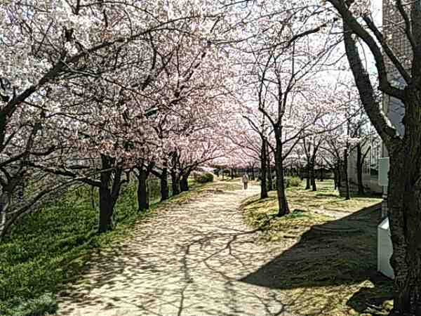 桜並木の道の画像