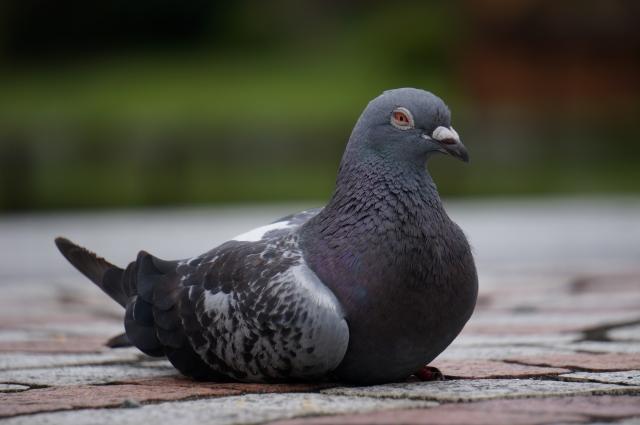 鳩をめぐって繰り広げる戦い