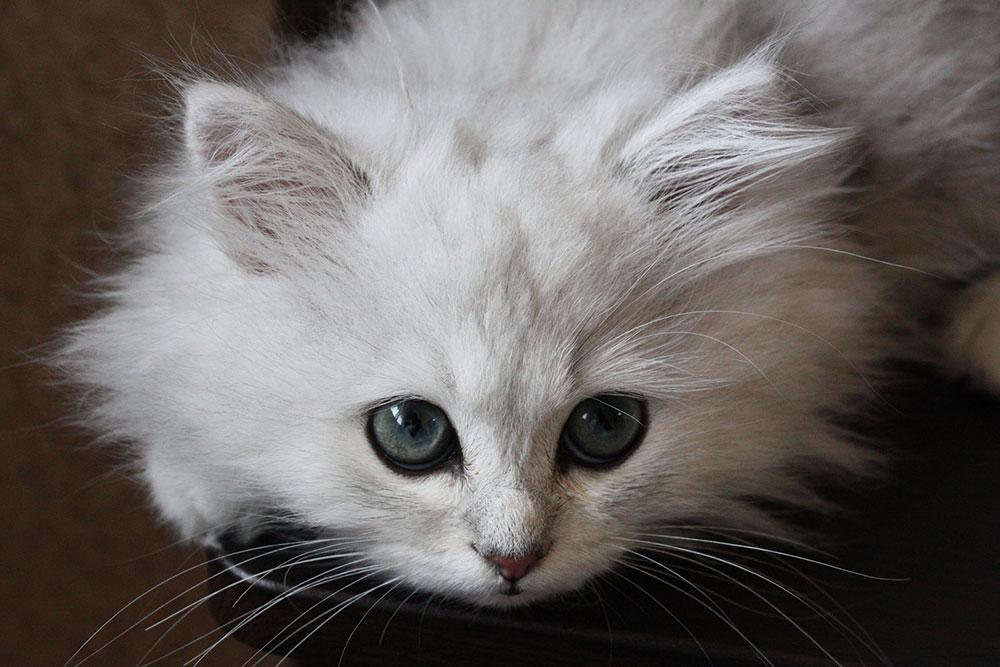 白猫が覗き込む画像