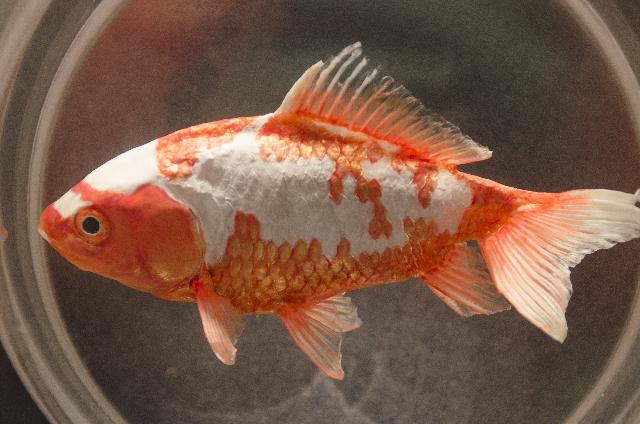 一匹だけの金魚の画像