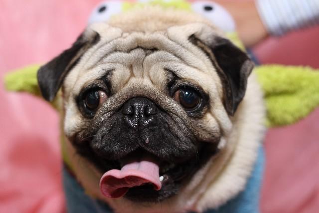 舌を出すパグ犬