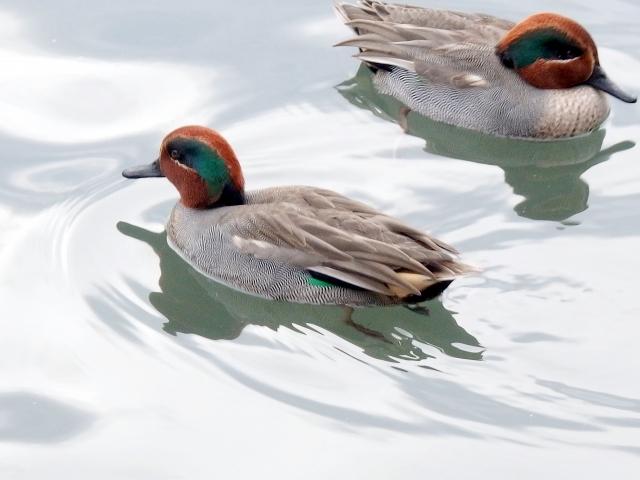鴨が二羽楽しんでいる画像