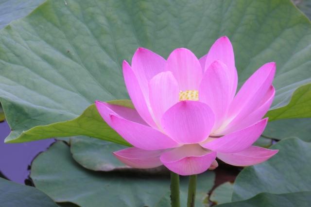 NANAで登場するレンの花