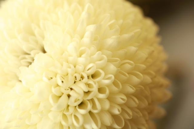 葬式に使用される菊の花