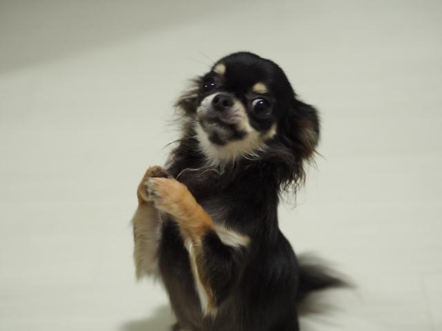 五郎丸ポーズをする子犬の画像