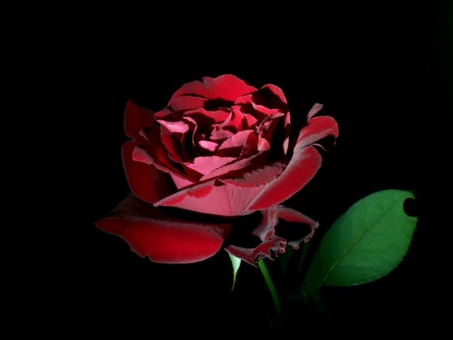 美しきバラ