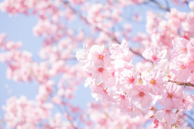 卒業を表す桜