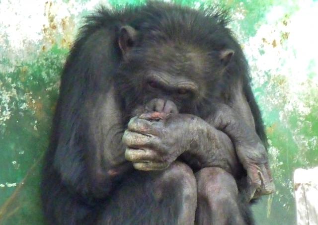 チンパンジーの画像