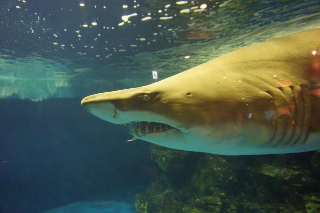 どう猛なサメ