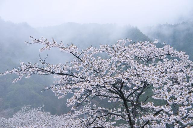 吉野で花見