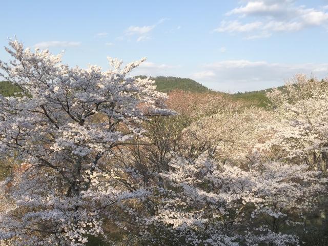 吉野の桜の美しさ