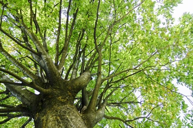 大木の迫力