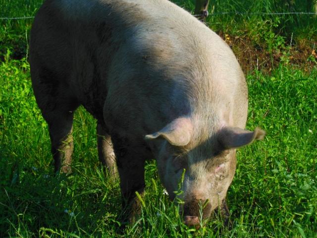豚に変わった親