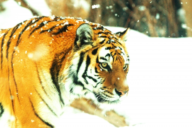 豹を狙う虎