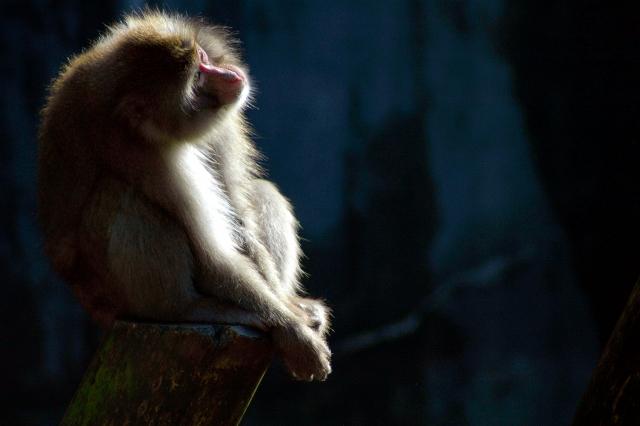 猿の悲しき運命