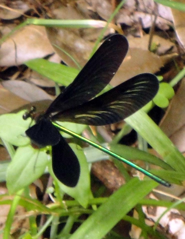 トンボ 黒い 羽 の