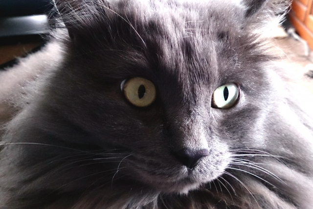 どアップの黒猫