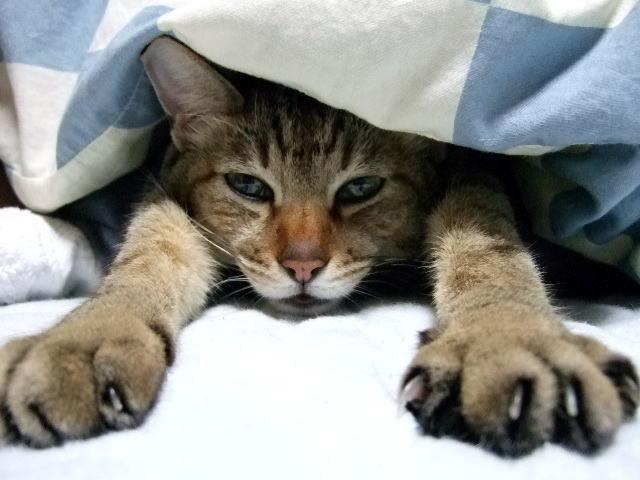 布団を出たくない猫
