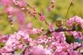 『京都新聞写真コンテスト 京都・城南宮の枝垂れ梅』