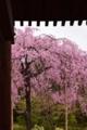 『京都新聞写真コンテスト 法金剛院の枝垂れ櫻』