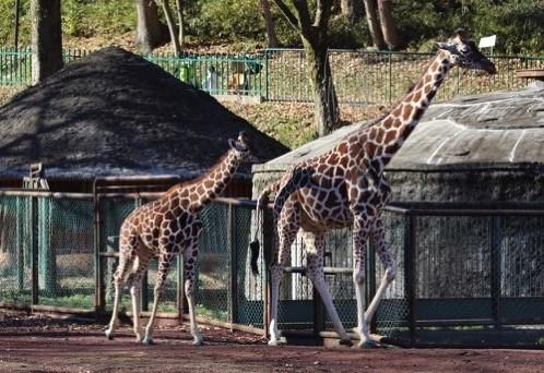 Zoo 6 kirin