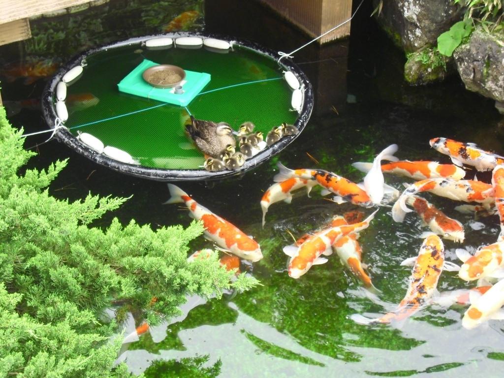 「錦鯉の里」で泳ぐ鮮やかな錦鯉
