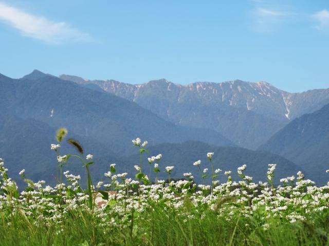 北アルプスとそばの花