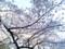 上野公園のさくら(2011.4)