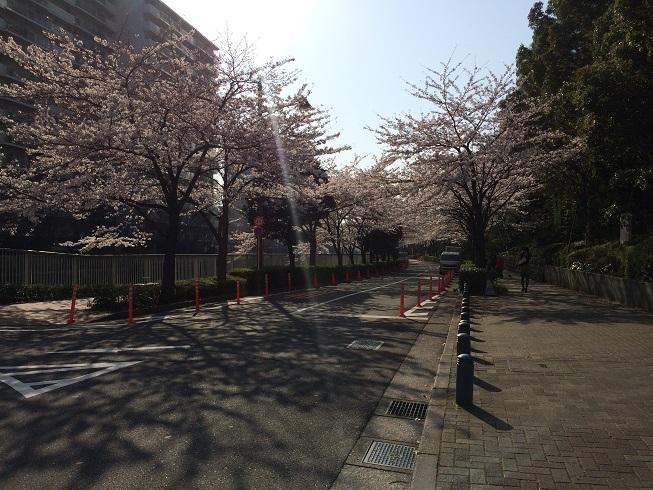 cherry blossom 20150330