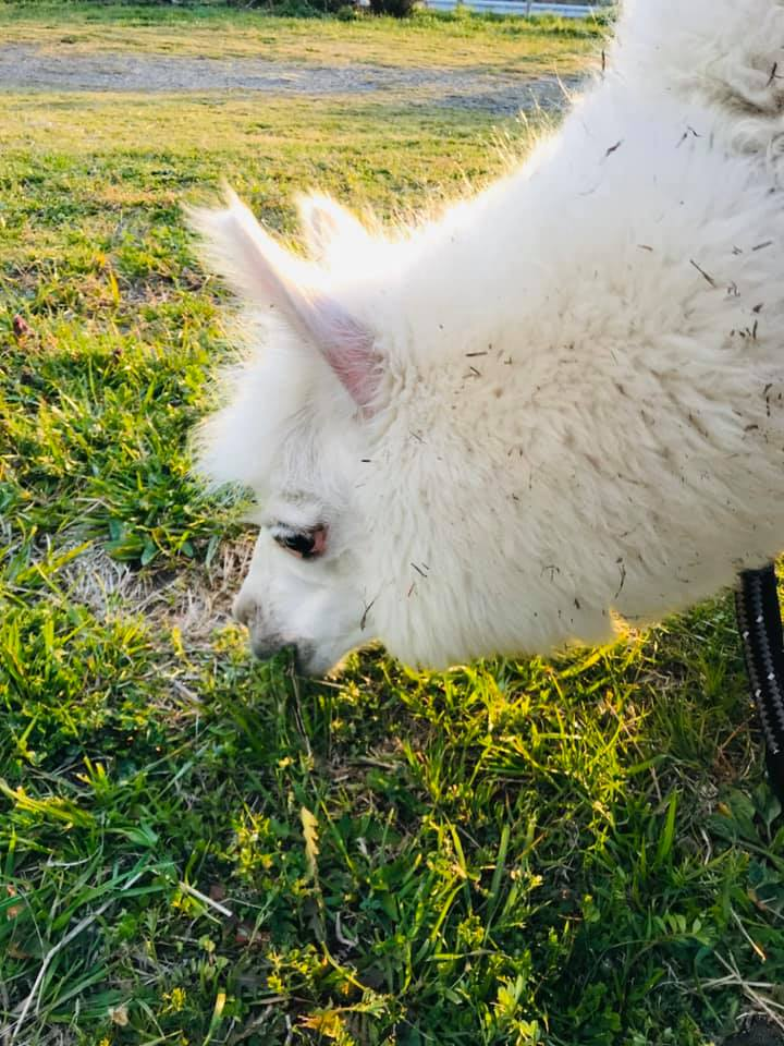 白いアルパカが草を食べる