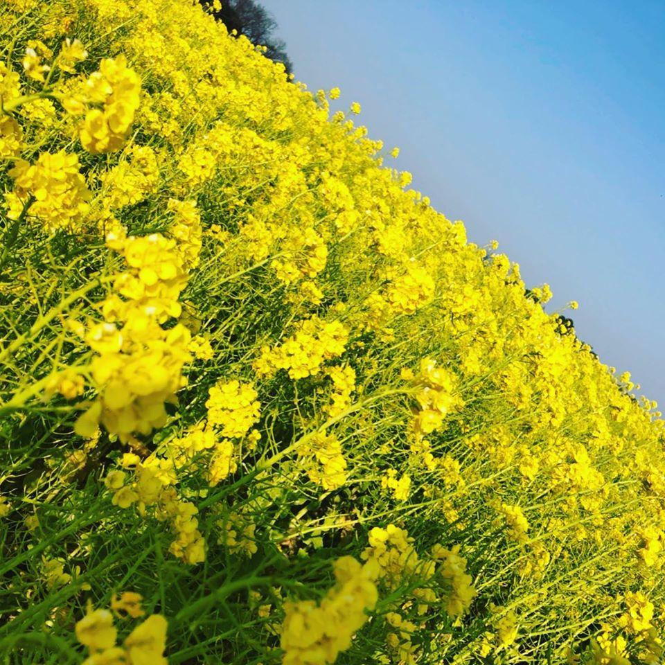 愛知牧場さん菜の花畑