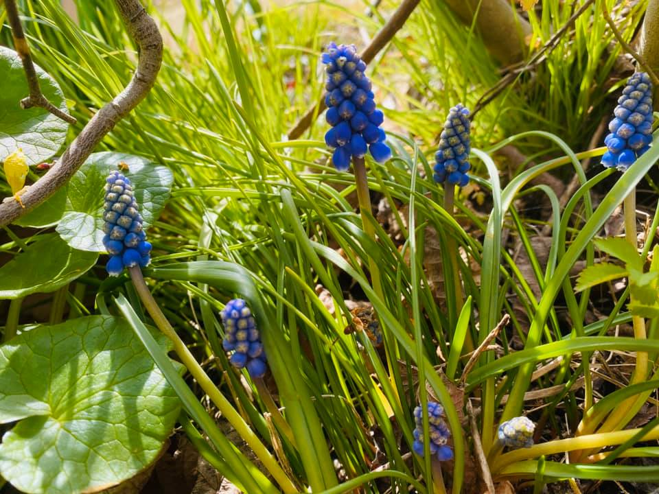 春に咲いたムスカリ
