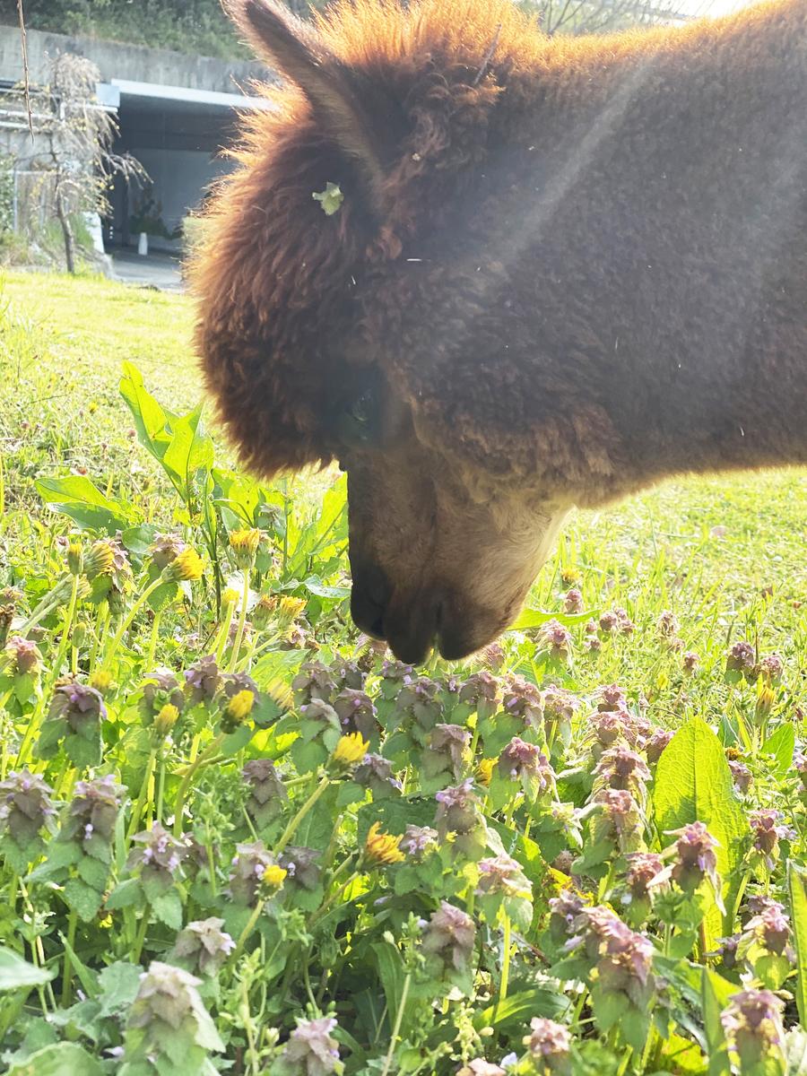草のたんぽぽを食べるアルパカ