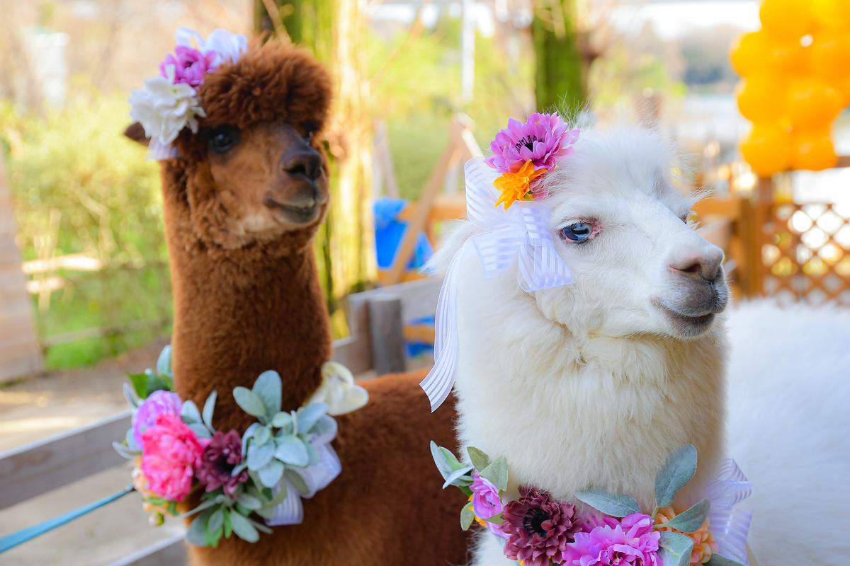 アルパカ結婚式フォトプラン花飾りのアルパカ