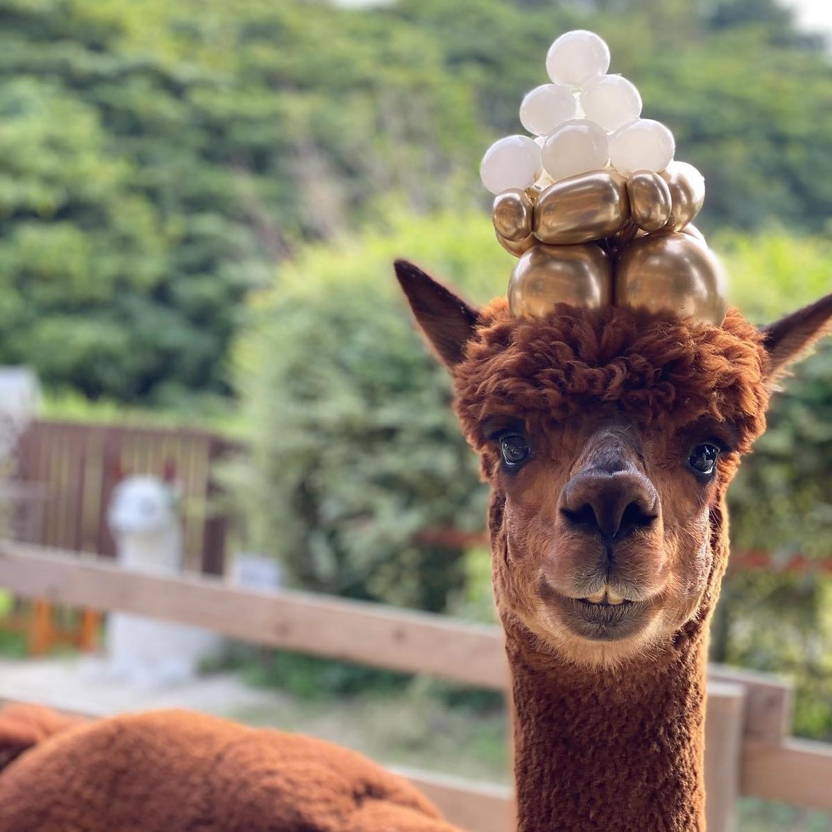 かわいいハリー(茶色のアルパカ)月見団子の帽子