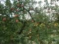 [大子シュッポ]りんごの季節。大子はりんご園だらけ;;