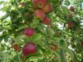 [大子シュッポ]おいしそうな完熟りんご