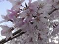 [amakko]たぶんヒガン桜