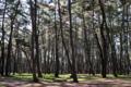 ここは加古川、カササギの住む松林