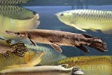 トロピカルジャイアントガー 50cm±【淡水魚】