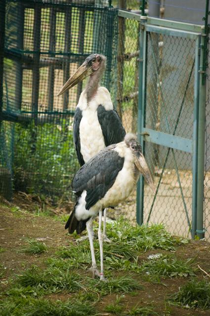 脱走でワイドショーを賑わせた千葉市動物園のアフリカハゲコウ
