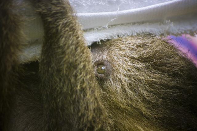 千葉市動物園のナマケモノの赤ちゃん