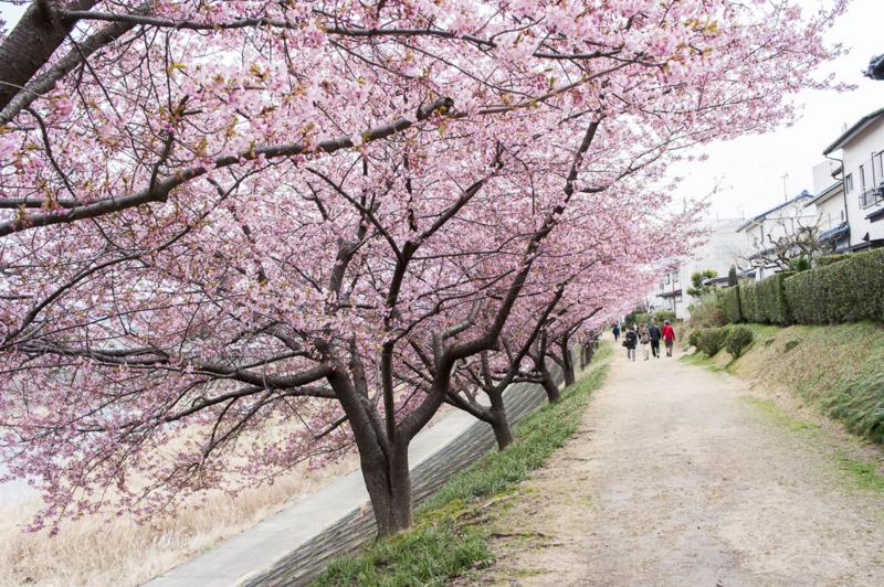 桜のトンネル 河津桜 岡崎市