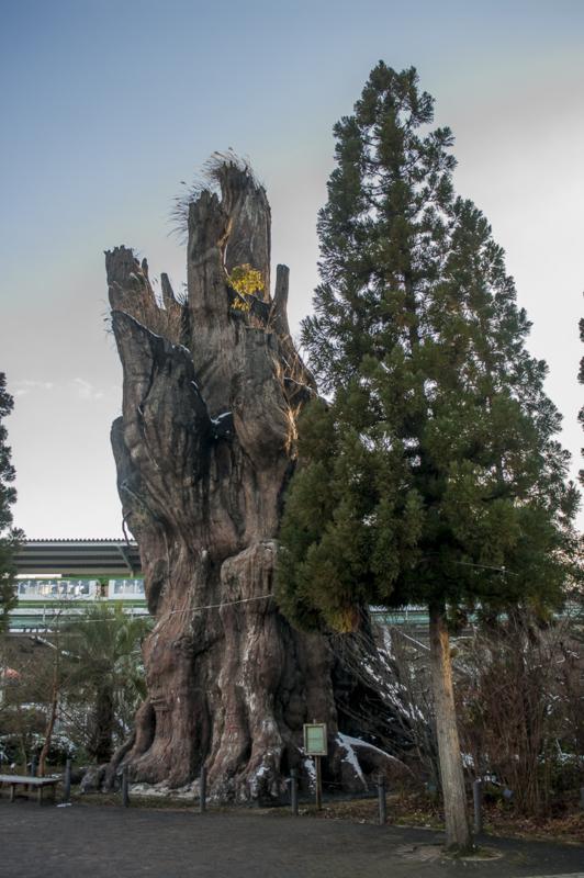 東山動植物園の屋久杉