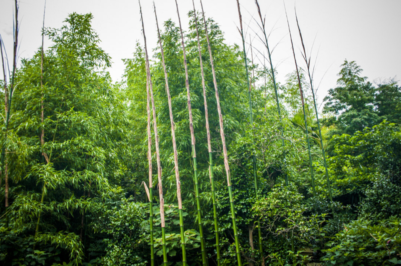 竹の成長 日進月歩 すくすく