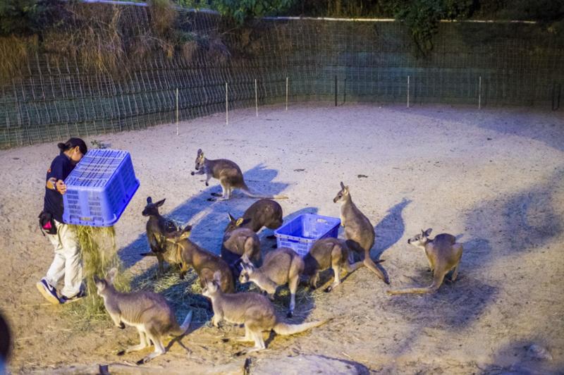 豊橋総合動植物公園のカンガルー食事タイム