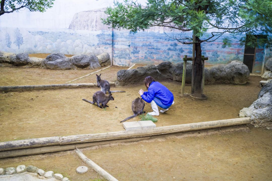 江戸川区自然動物園のベネットアカクビワラビー体調管理