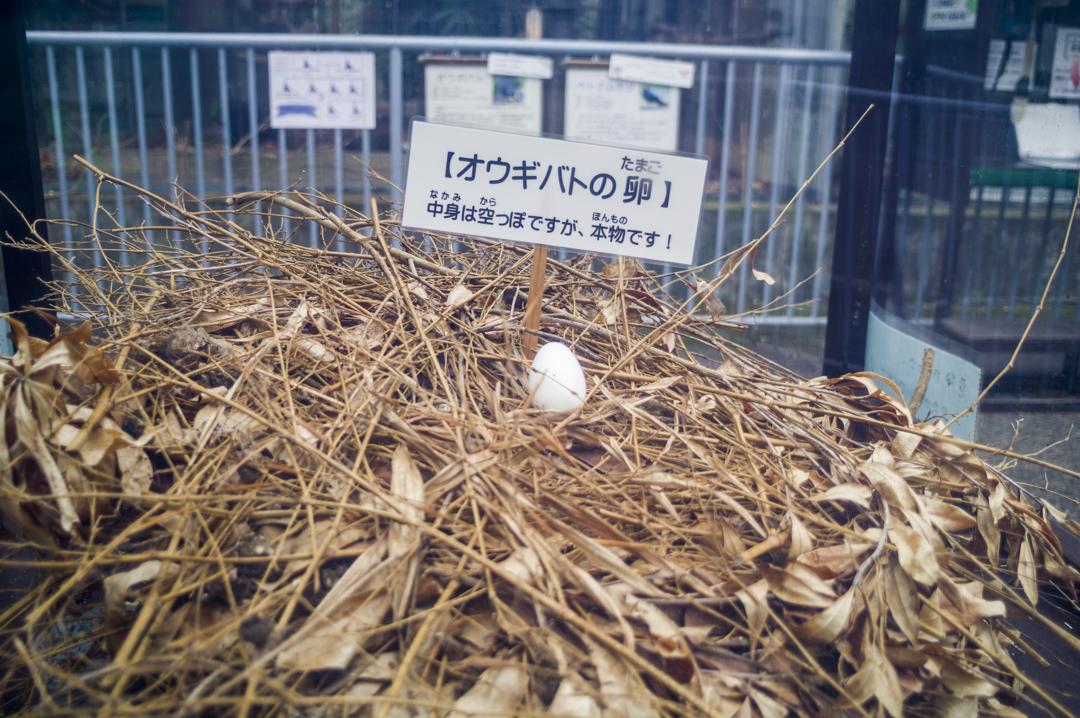 オウギバトの卵