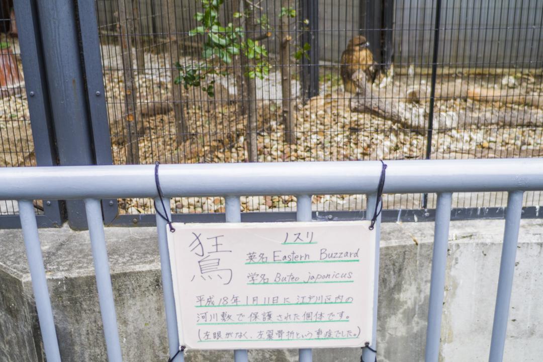 江戸川区自然動物園のノスリ